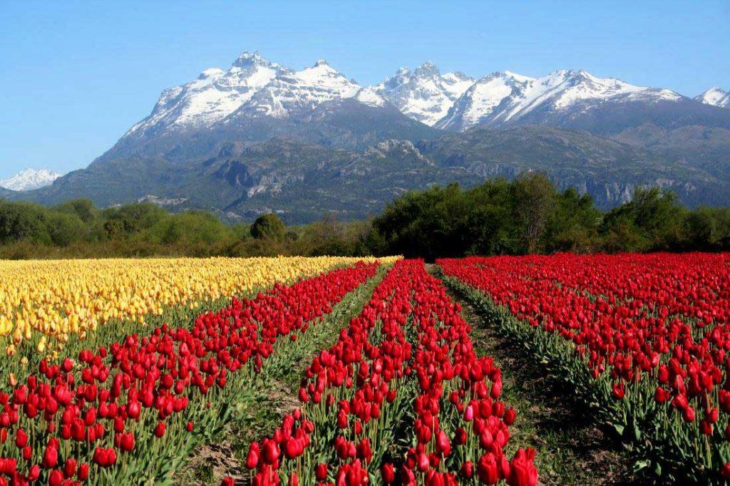 Tulipanes en Trevelin, Chubut