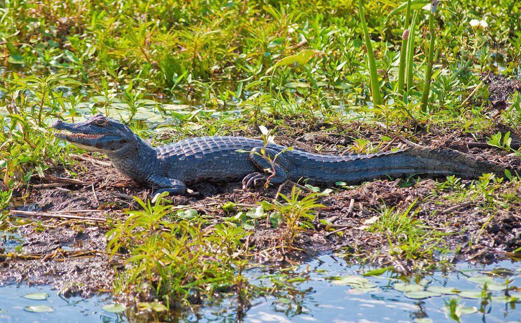 Yacaré - Fauna de los Esteros del Ibera, Corrientes
