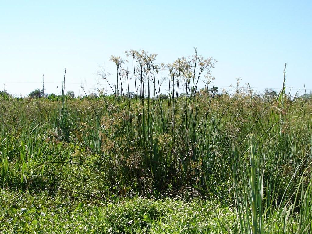 Cyperus giganteus en los Esteros del Iberá