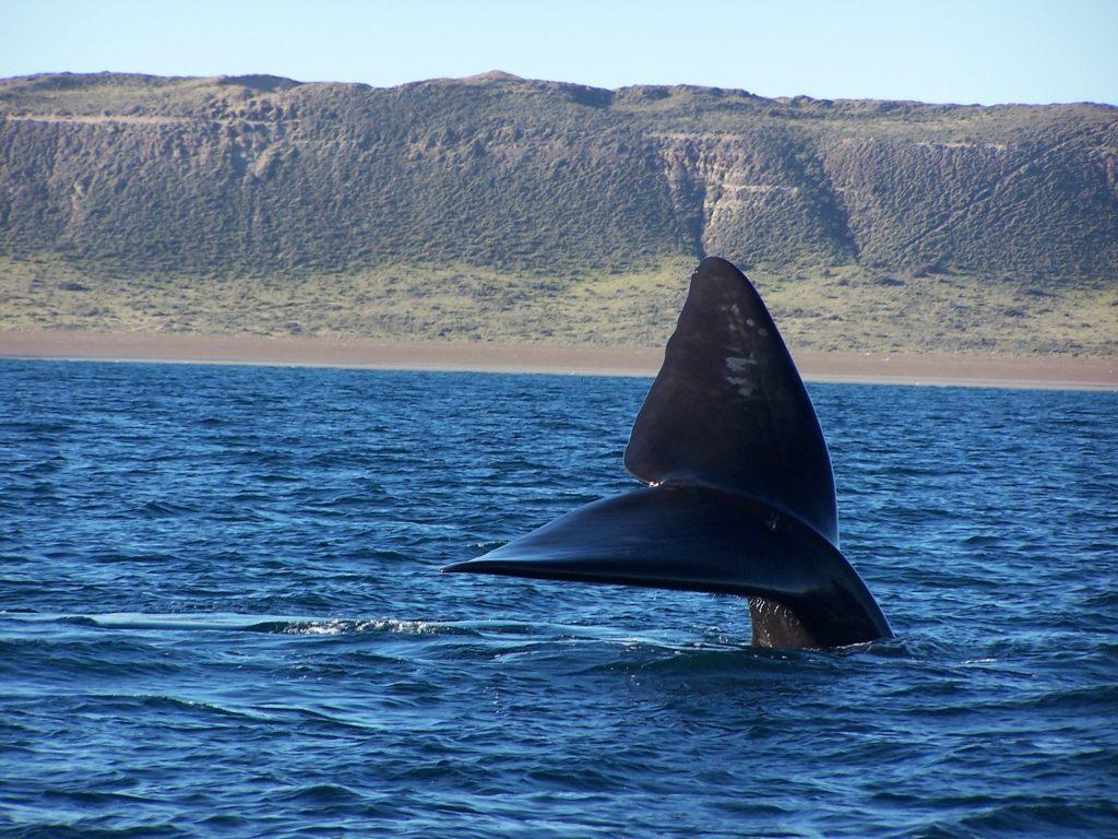 Avistaje embarcado de ballenas en puerto madryn - ph Angel Velez