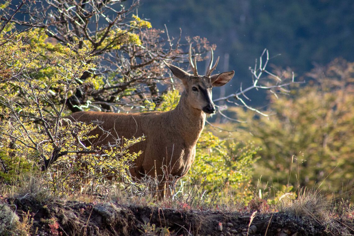 Huemul - Parque Nacional Patagonia
