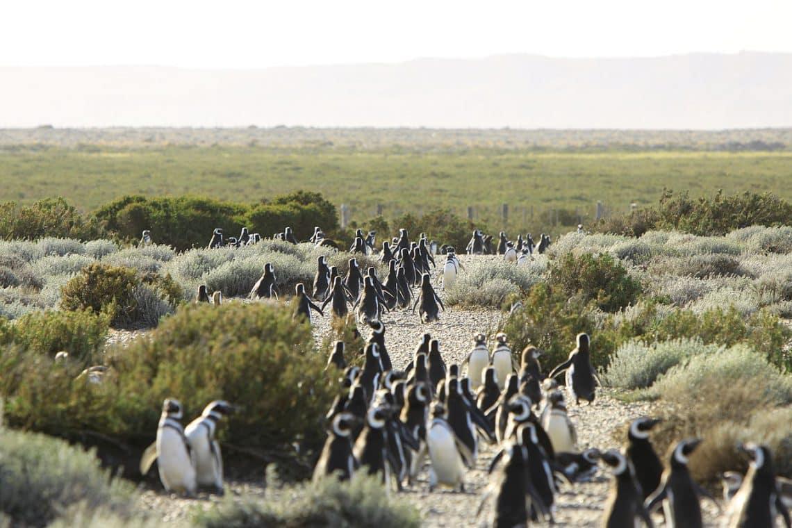 Pingüinos en el Cabo Vírgenes, Santa Cruz