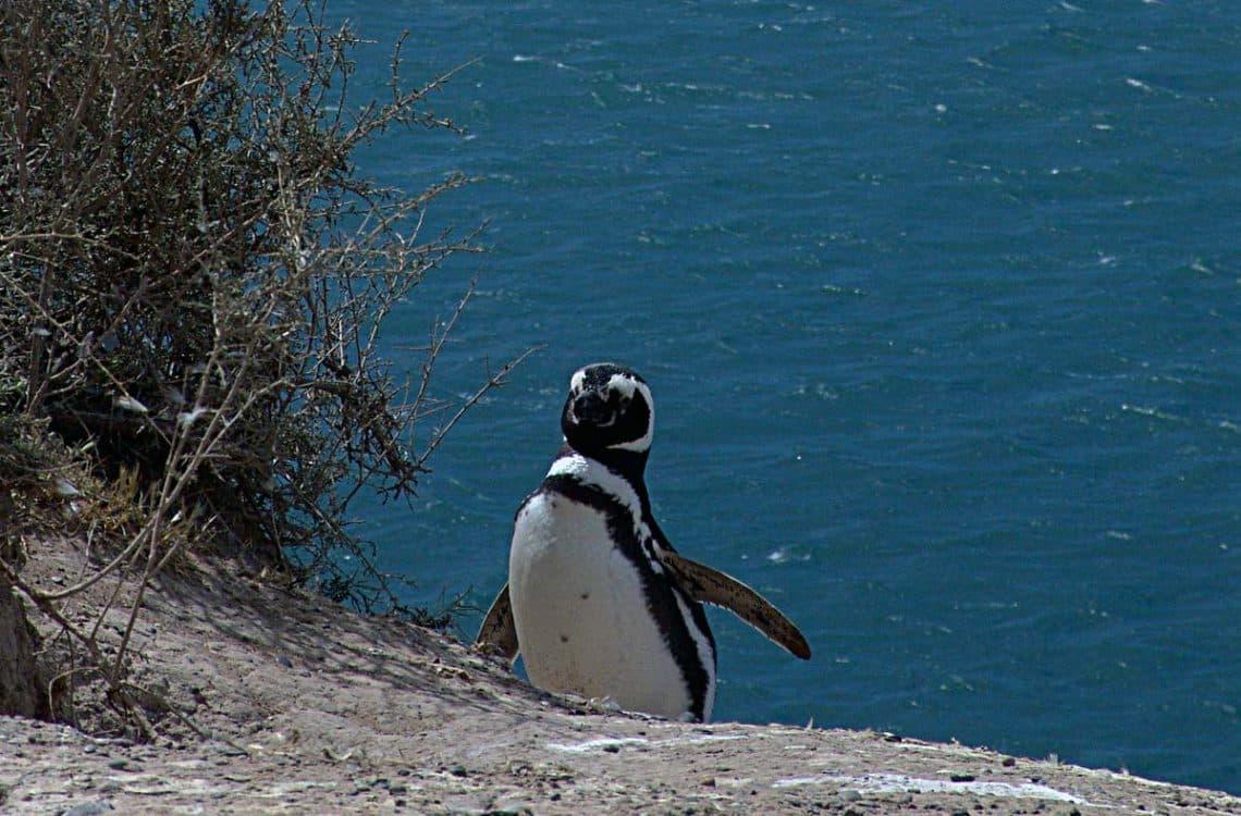 Pingüino en Península Valdés, Chubut - Vicky Fernández