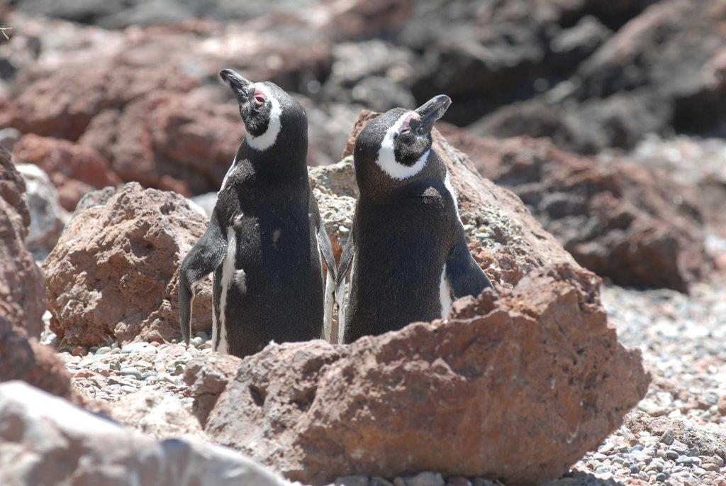 Pingüino de Magallanes, Chubut