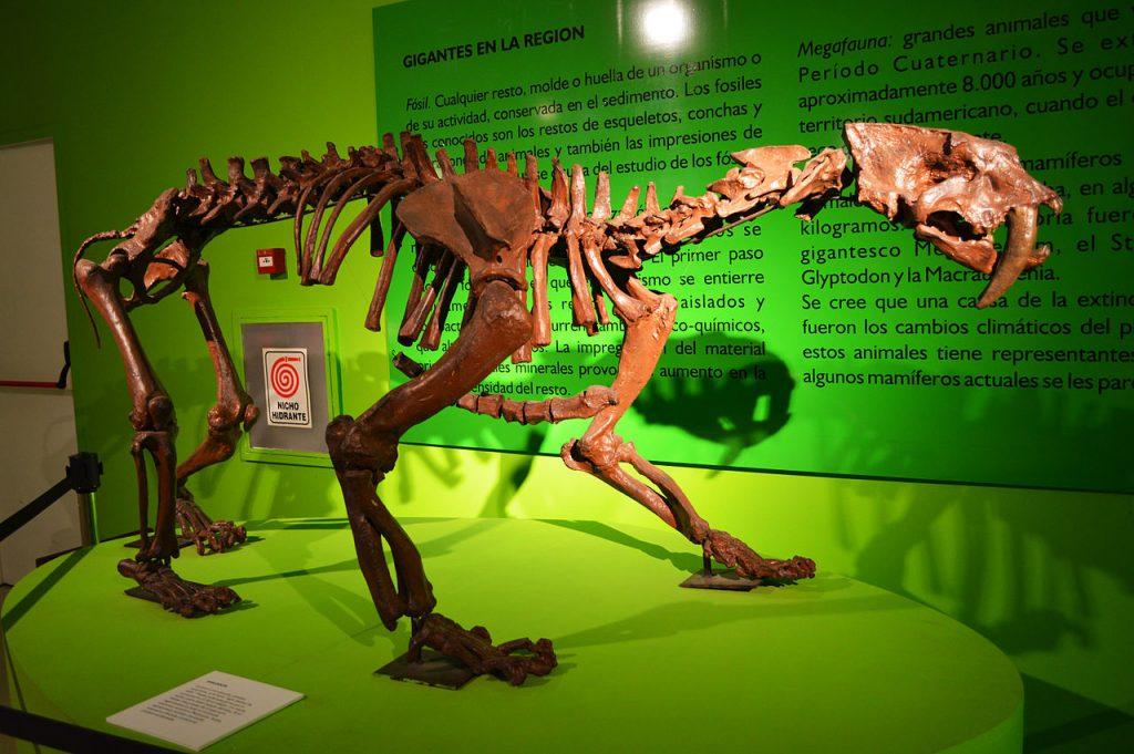 Fósil de Smilodon - Museo de Ciencias Antropológicas y Naturales - CCB - Santiago del Estero