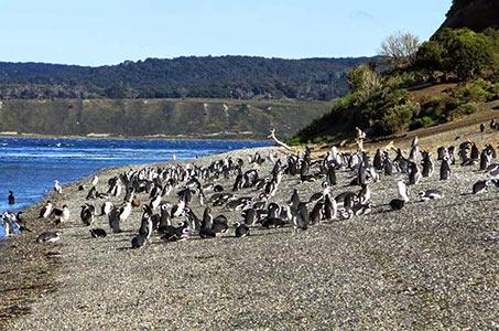 Pinguinera en Isla Martillo