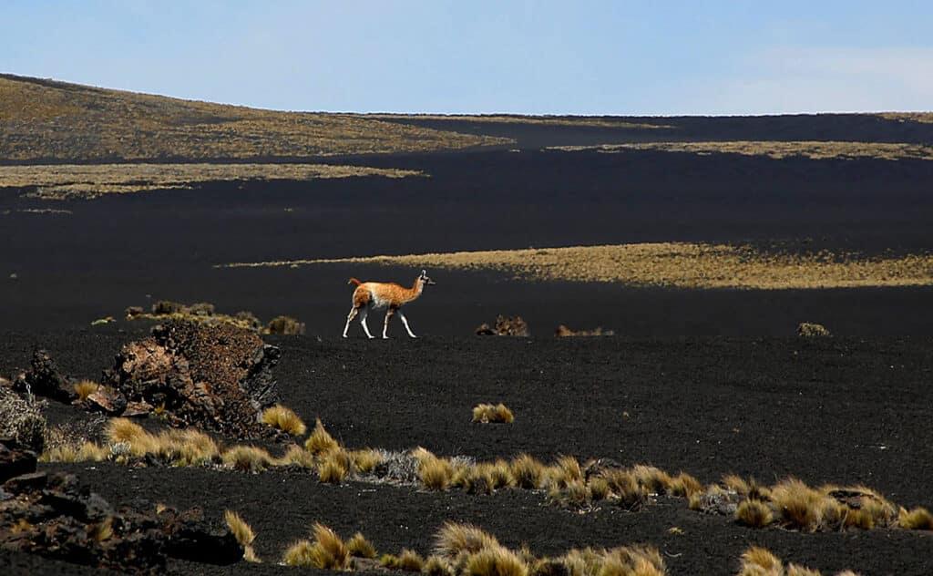 Un guanaco paseando por La Payunia, Mendoza
