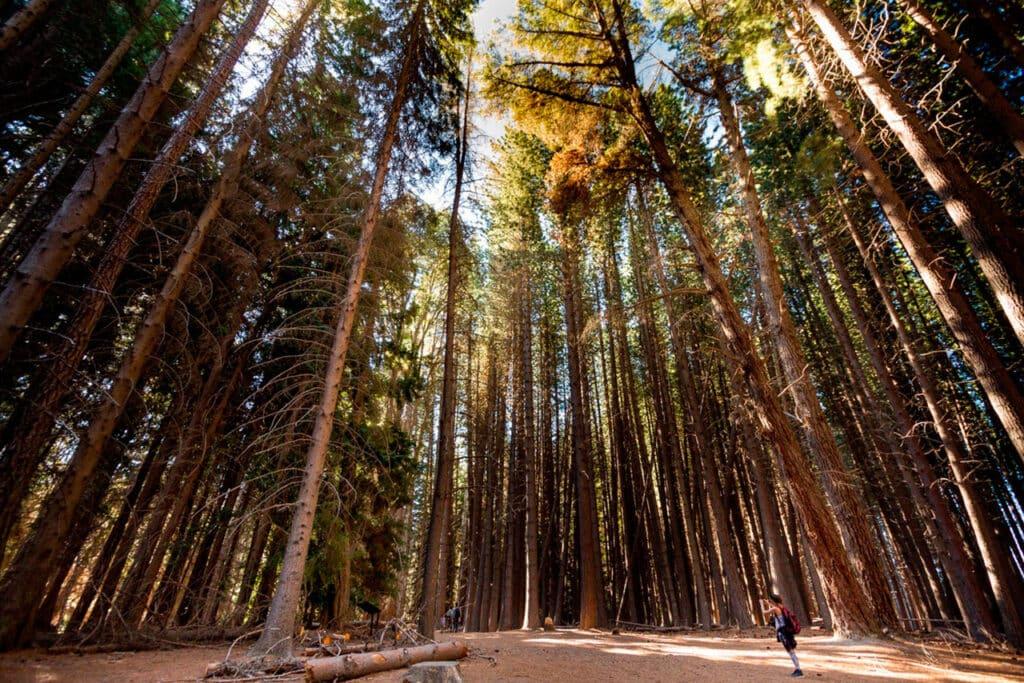 Bosque de Coihues en Isla Victoria - foto:Juan Jose Rodriguez