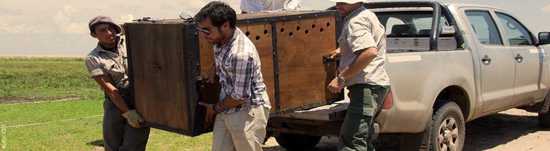 El trabajo en conjunto para lograr la liberación del Aguara Guazu en la reserva