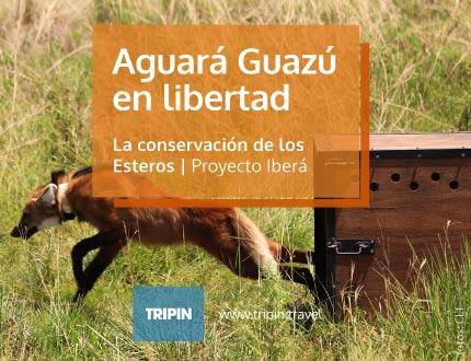 Aguara Guazu en libertad, Proyecto Iberá comprometido con la conservación de los Esteros