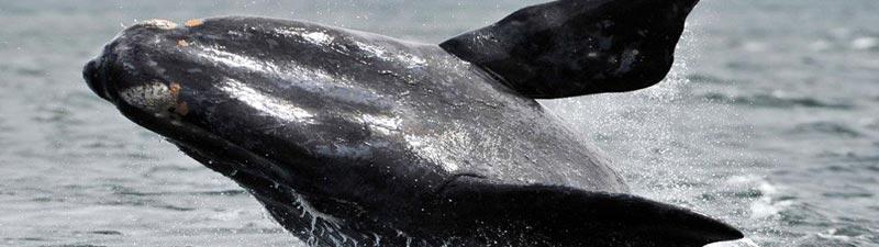 Avistaje de ballenas en Puerto Piramides