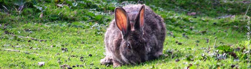 Los conejos de Bahia Lapataia en Tierra del Fuego