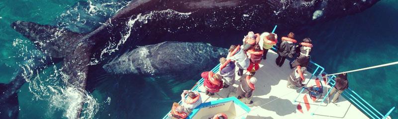Ya arribaron los primeros ejemplares de la ballena franca austral a las costas de Chubut