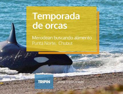 Temporada de orcas en Punta Norte, Chubut