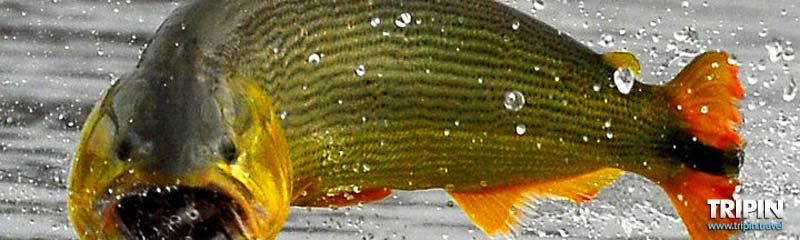 Pesca del dorado en Corrientes