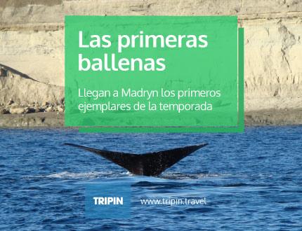 Las primeras ballenas de la temporada 2015 arribaron a las costas de Puerto Madryn