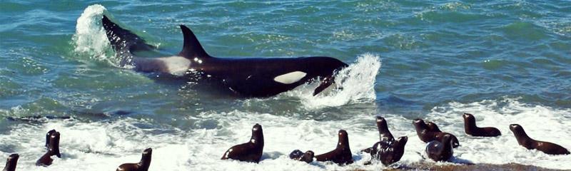 Orcas en pleno