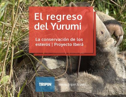 El regreso del Yurumi por Proyecto Iberá, conservación de los esteros