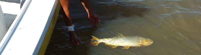La pesca deportiva del dorado en el litoral argentino