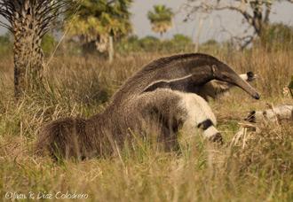 Osos Hormigueros en los Esteros del Iberá