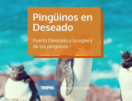 Puerto Deseado a la espera de los pingüinos de penacho amarillo