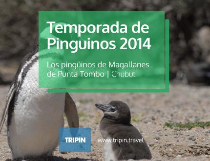 La temporada de pinguinos 2014 en Punta Tombo, Chubut