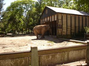 Elefante Pelusa en el Zoo de La Plata