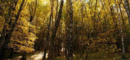 Bosques de Abedules en La Cumbrecita