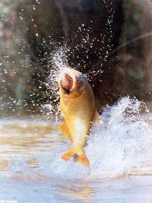 ruta de los rios, pesca del dorado
